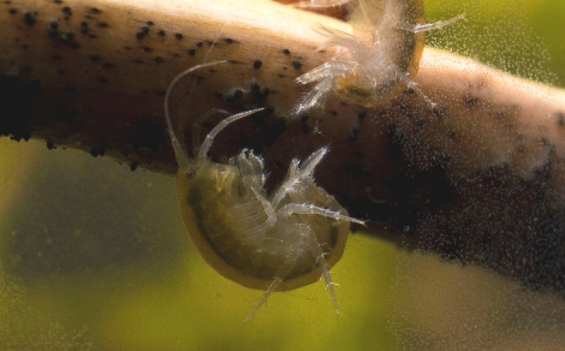 Crevette d'eau douce